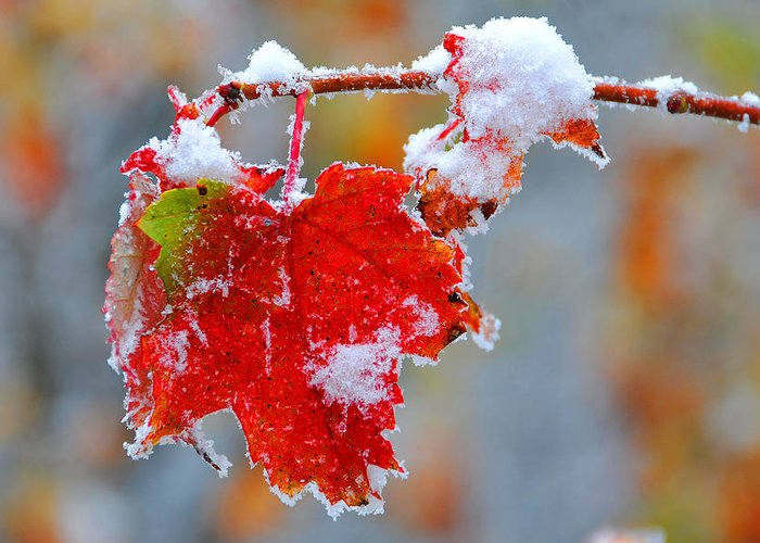 Maple Leaf Greeting Card featuring the photograph Maple Leaf With Snow by Alan Lenk