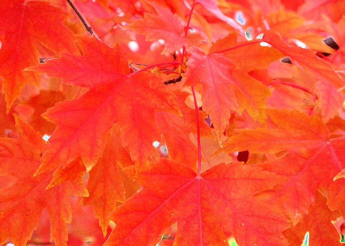 Red Greeting Card featuring the photograph Maple Leaves 3 Pd by Lyle Crump
