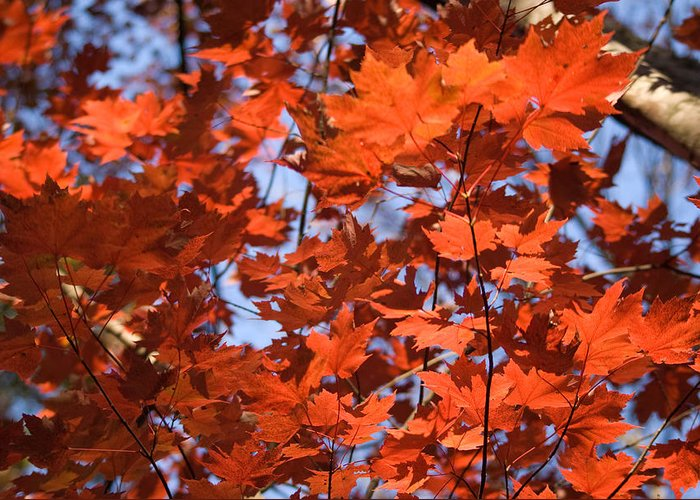 Maple Greeting Card featuring the photograph Maple Leaves Aglow by Douglas Barnett