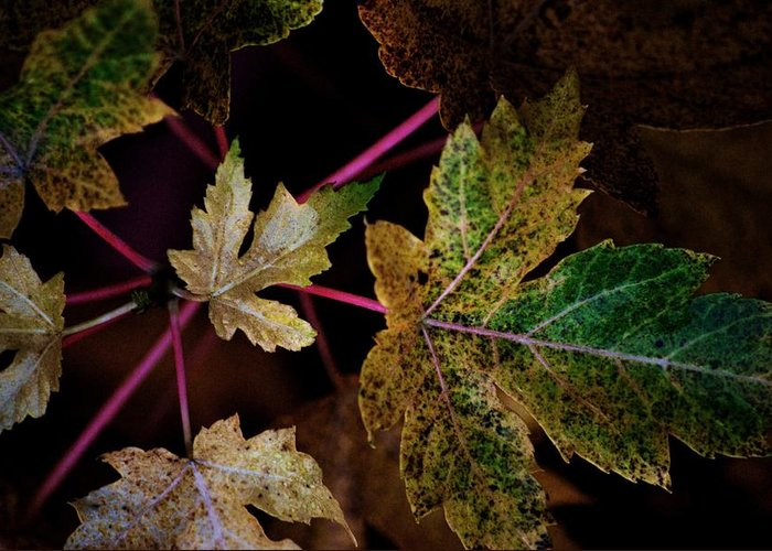 Maple Leaves. Nature Greeting Card featuring the photograph Maple Spatter by Trudi Southerland