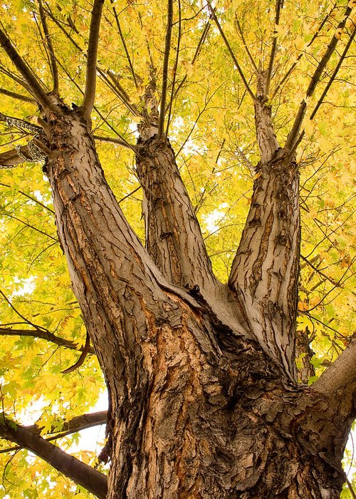 Autumns Greeting Card featuring the photograph Maple Tree Portrait by James BO Insogna