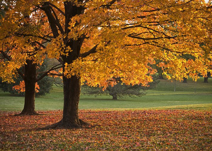 Maple Trees Greeting Card featuring the photograph Maples Trees In Fall by Chad Davis