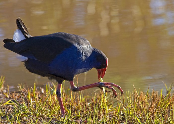 Purple Greeting Card featuring the photograph March Of The Swamphen by Mike Dawson
