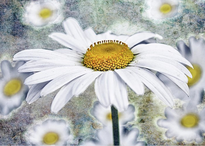 Marguerite Flowers Greeting Cards
