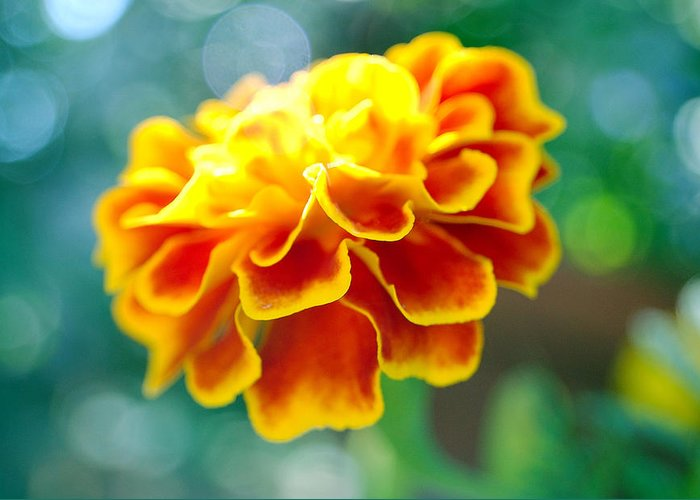 Flowers Greeting Card featuring the photograph Marigold by Heather S Huston