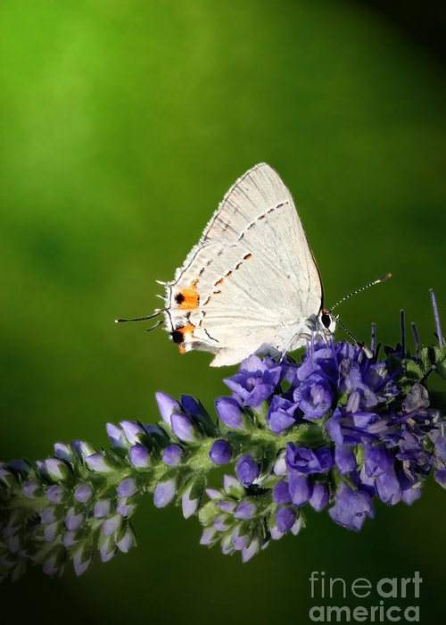 Marius Greeting Card featuring the photograph Marius Hairstreak Butterfly by Jeannie Burleson