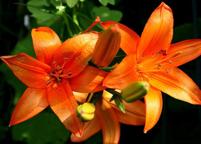 Lily Greeting Card featuring the photograph Marmalade Lilies by David Dunham