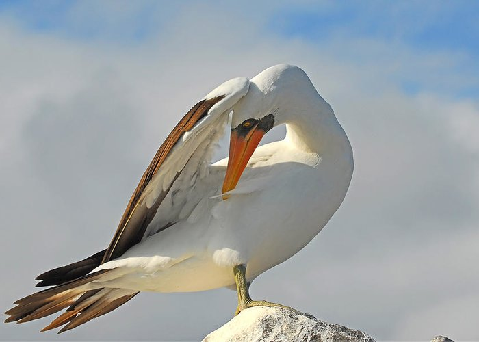 Galapagos Bird Greeting Card featuring the photograph Masked Booby by Alan Lenk