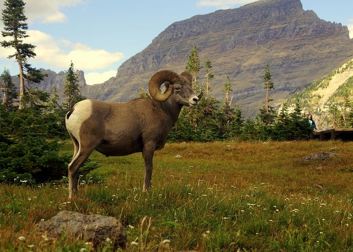 Big Horn Sheep Greeting Card featuring the photograph Master Of His Domain by Marty Koch