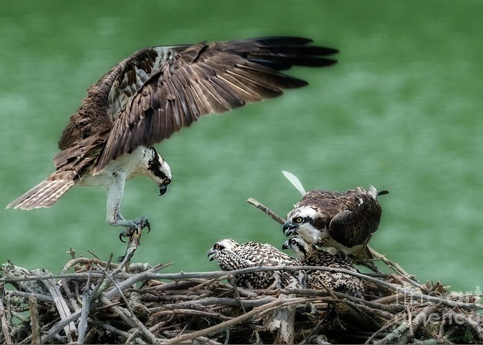 Osprey Greeting Card featuring the photograph Mealtime by Dan Friend