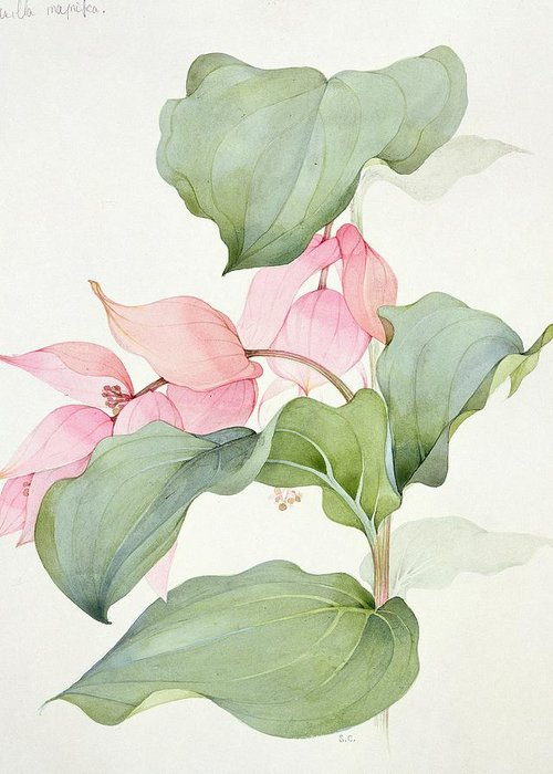 Medinilla Magnifica Greeting Card featuring the painting Medinilla Magnifica by Sarah Creswell