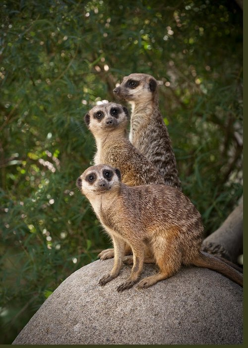 Meerkat Greeting Card featuring the photograph Meerkat Hill by Chad Davis