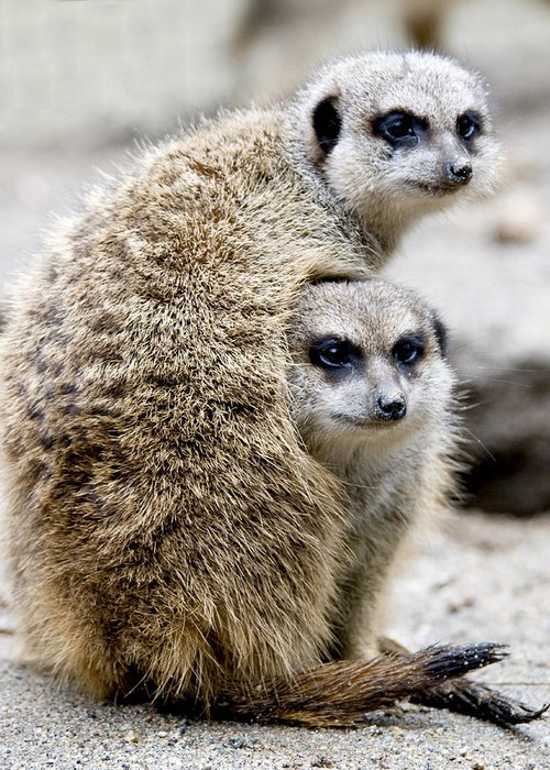 Animals Greeting Card featuring the photograph Meerkats by Jerry Weinstein