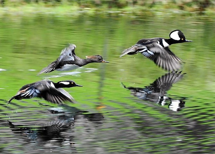 Merganser Reflections Greeting Card featuring the photograph Merganser Reflections by William Bosley
