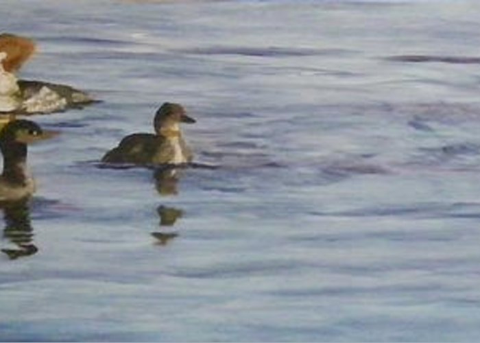 Mergansers Greeting Card featuring the painting Mergansers Join In by Terry Honstead