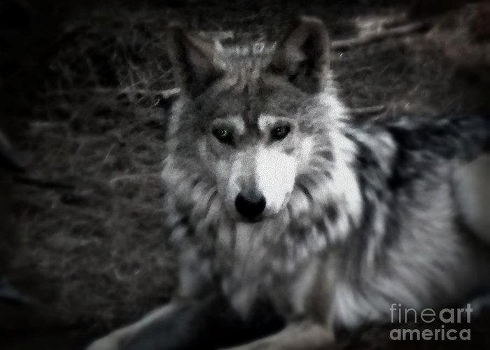 Black And White Greeting Card featuring the photograph Mexican Gray Wolf by Emily Kelley