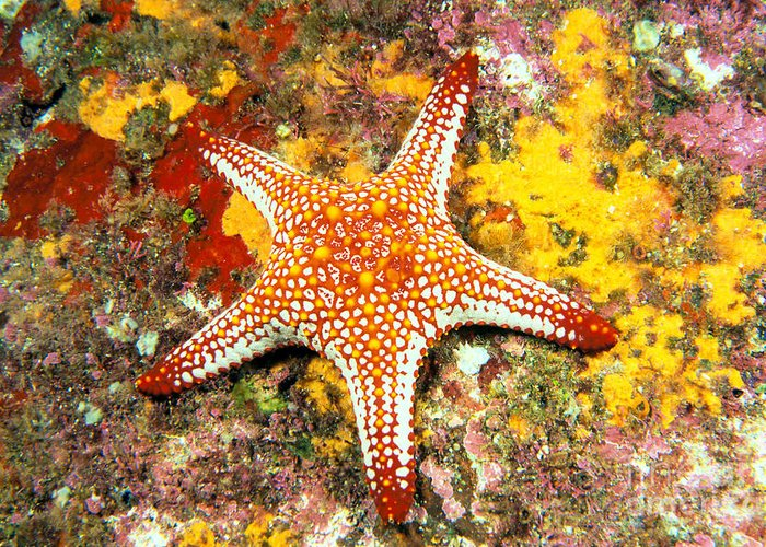 Animal Art Greeting Card featuring the photograph Mexico, Gulf Sea Star by Dave Fleetham - Printscapes