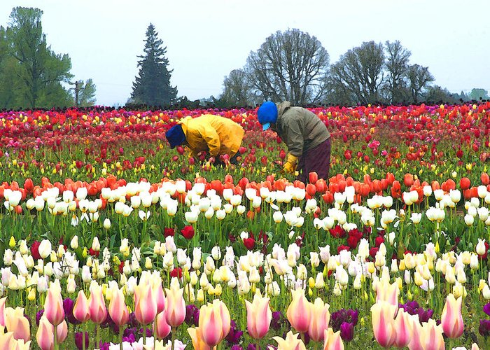 Tulips Greeting Card featuring the photograph Migrant Workers In The Tulip Fields by Margaret Hood