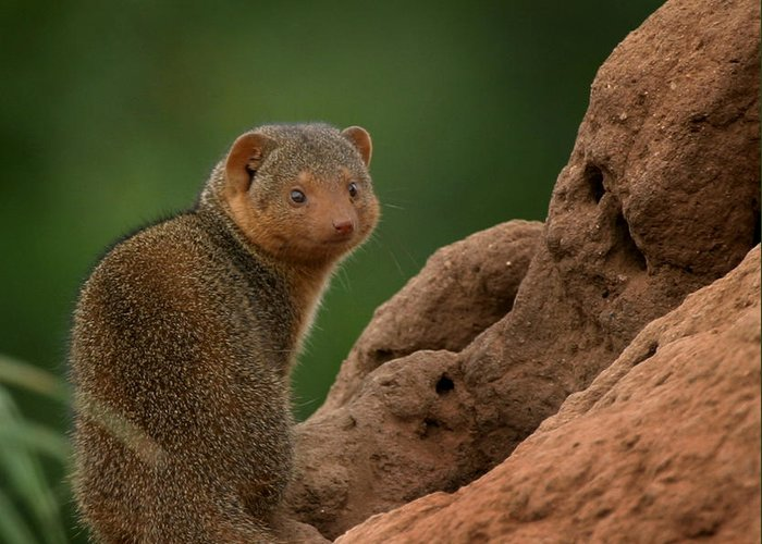 Mongoose Greeting Card featuring the photograph Mini Mongoose by Joseph G Holland