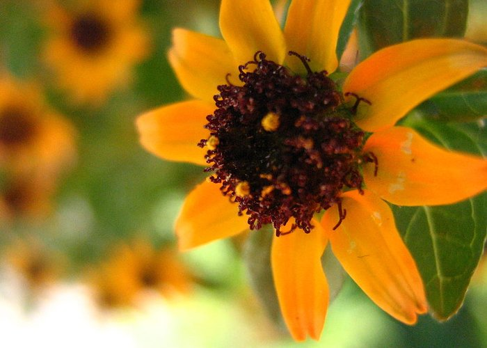 Flower Greeting Card featuring the photograph Mini Sunflower by Melissa Parks