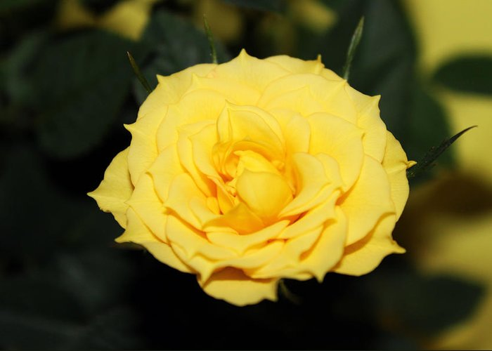 Rose Photography Greeting Card featuring the photograph Mini Yellow Rose by Evelyn Patrick