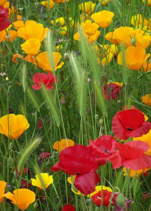 Poppies Greeting Card featuring the photograph Mixed Poppies by Gene Ritchhart