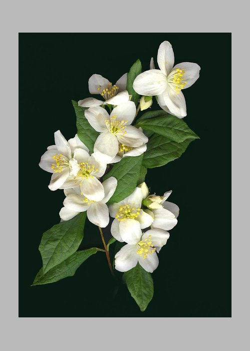 White Flowers Greeting Card featuring the photograph Mock Orange by Sandi F Hutchins