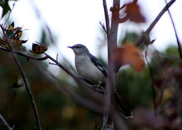Bird Greeting Card featuring the photograph Mocking Bird by Kenna Westerman