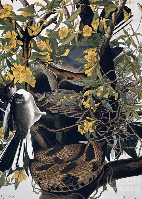 Mocking Birds And Rattlesnake Greeting Card featuring the drawing Mocking Birds And Rattlesnake by John James Audubon
