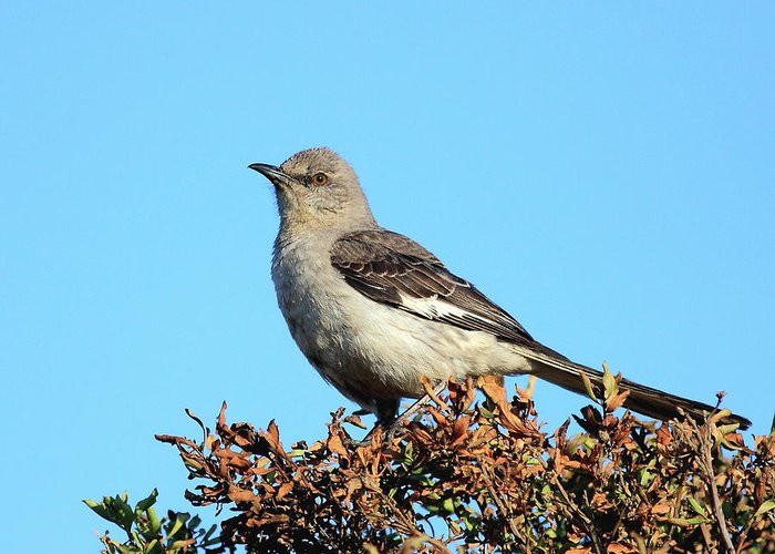Bird Greeting Card featuring the photograph Mockingbird . 7682 by Wingsdomain Art and Photography