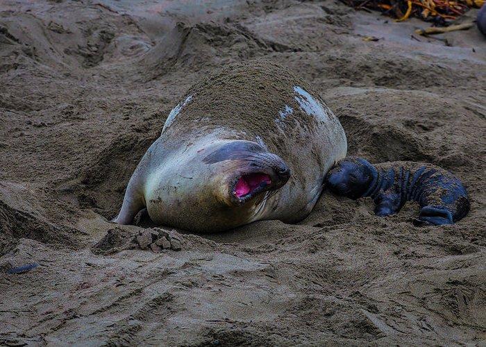 Elephant Seals Photographs Greeting Cards