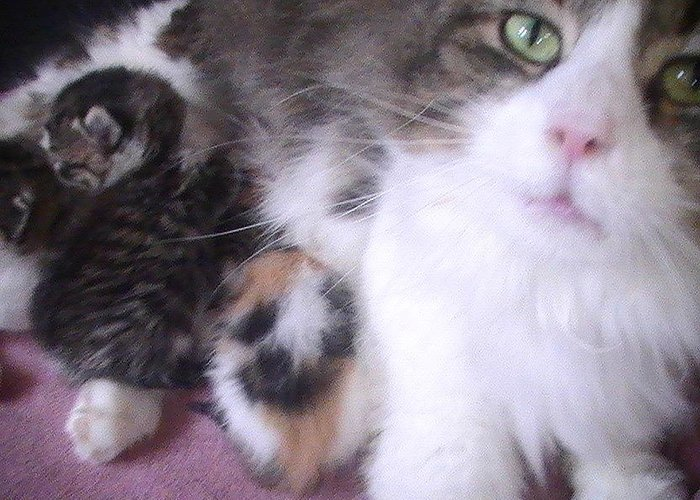 Kittens With Momma Greeting Card featuring the photograph Momma At Work by Pat Nalls