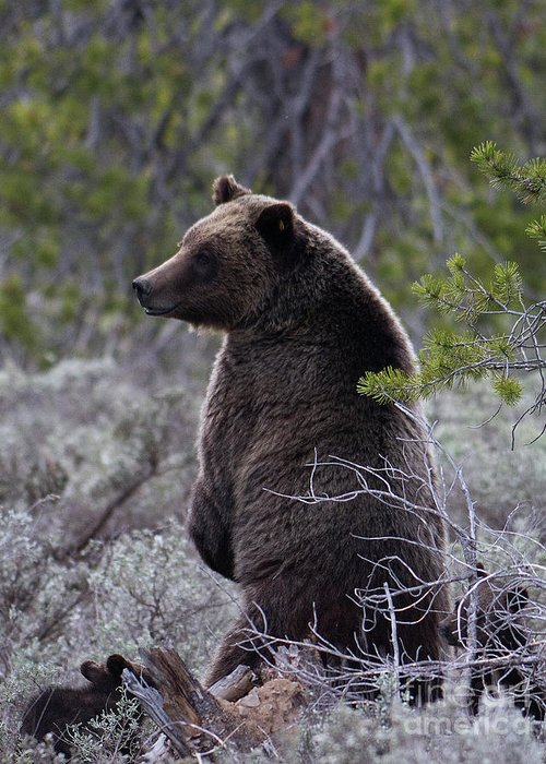Bear Greeting Card featuring the photograph Momma Grizzly And Cubs by Rodney Cammauf