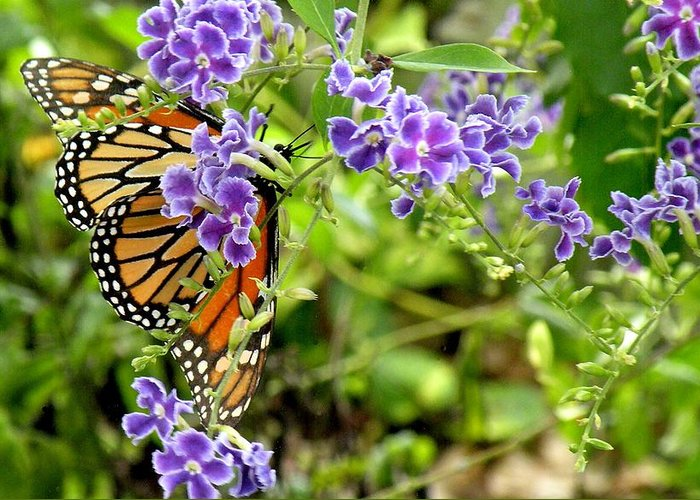 Butterfly Greeting Card featuring the photograph Monarch And Purple Flowers by Rosalie Scanlon