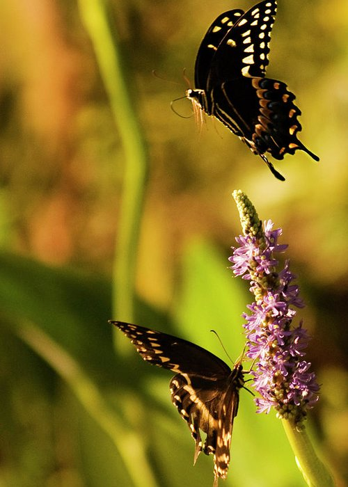 Monarch Butterflies Greeting Card featuring the photograph Monarch Butterflies In Spring At Wakulla Springs by Frank Feliciano