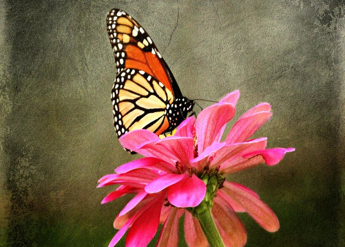 Butterfly Greeting Card featuring the photograph Monarch Butterfly And Pink Zinnia by Judy Palkimas