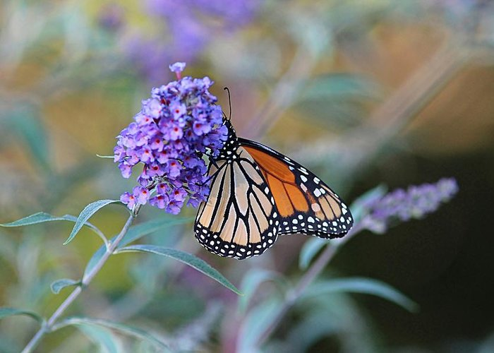 Monarch Greeting Card featuring the photograph Monarch Butterfly And Purple Flowers by Linda Crockett