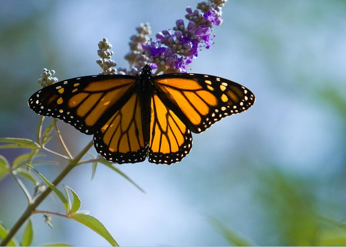 Butterfly Greeting Card featuring the photograph Monarch Butterfly by Carl Jackson