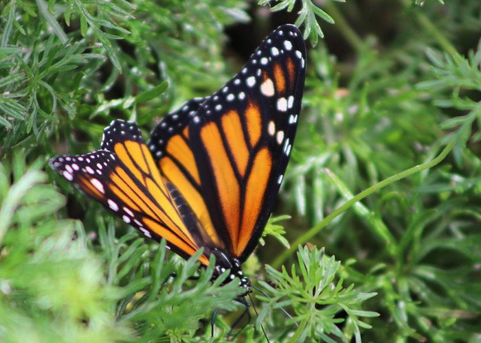 Monarch Butterfly Greeting Card featuring the photograph Monarch Butterfly In Lush Leaves by Colleen Cornelius