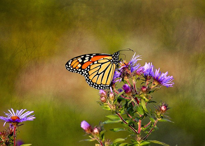 Butterfly Greeting Card featuring the photograph Monarch Butterfly In The Afternoon Sun by James Steele