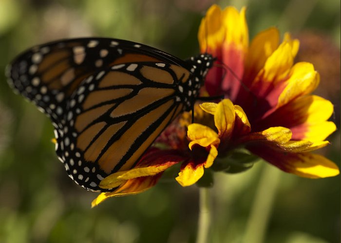 Butterfly Greeting Card featuring the photograph Monarch Butterfly by Jessica Wakefield