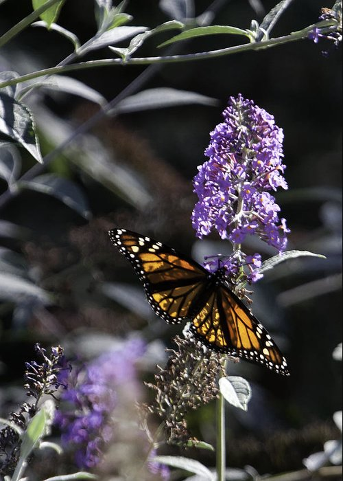 Butterfly Bush Greeting Card featuring the photograph Monarch In Backlighting by Rob Travis