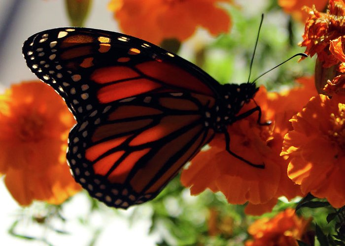 Monarch Greeting Card featuring the photograph Monarch Series 8 by Samantha Burrow