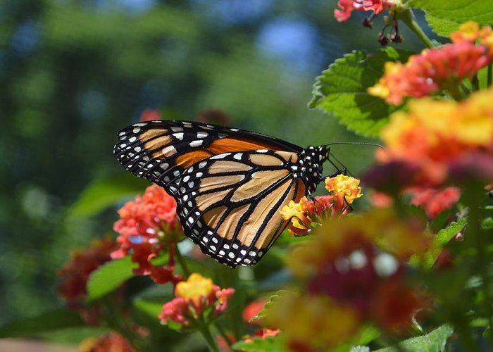 Butteryfly Greeting Card featuring the photograph Monarch by Tim Votapka