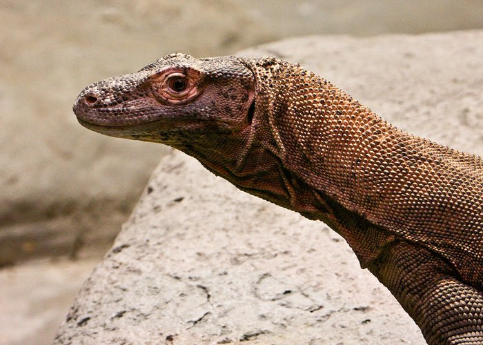 Monitor Greeting Card featuring the photograph Monitor Lizard by Douglas Barnett