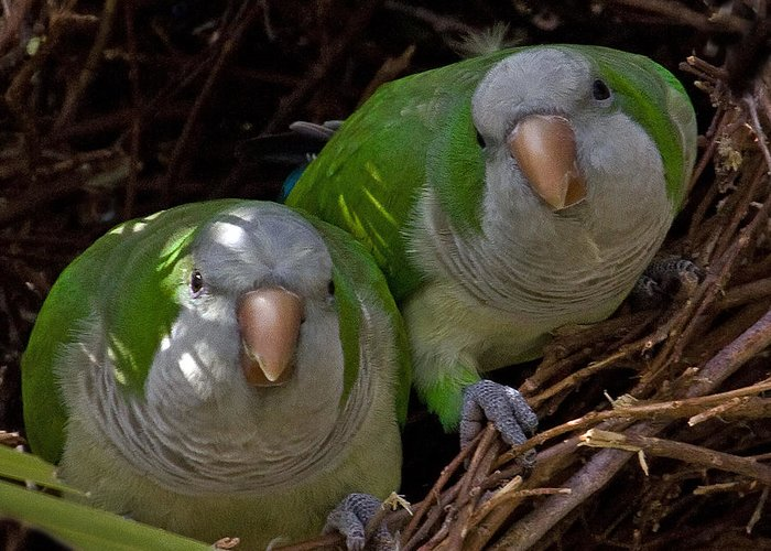 Monk Parakeet Greeting Card featuring the photograph Monk Parakeet Pair by Larry Linton