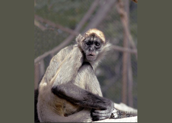 Monkey Greeting Card featuring the photograph What Are You Looking At by Irma BACKELANT GALLERIES