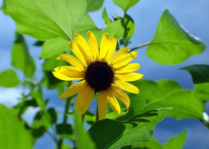 Sunflower Greeting Card featuring the photograph Monsoon Sunflower by Heather S Huston