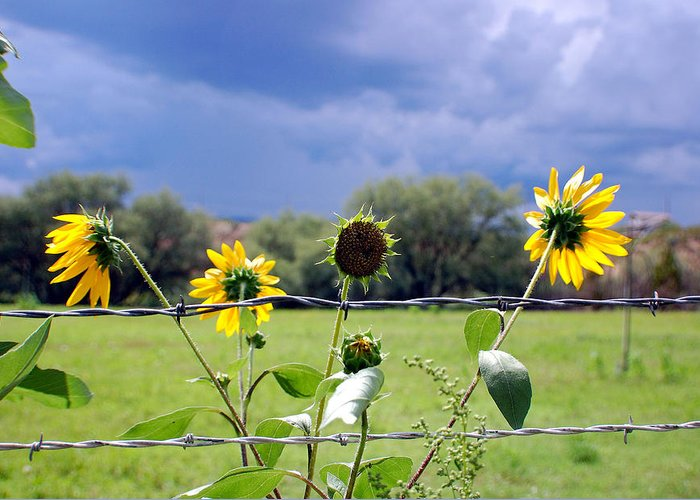 Photography Greeting Card featuring the photograph Monsoon Sunflowers by Heather S Huston
