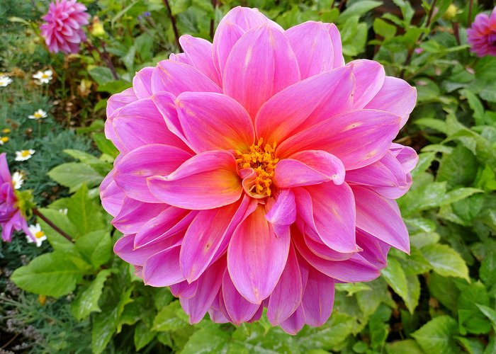 Dahlia Greeting Card featuring the photograph Monterey Pink by Robert Meyers-Lussier
